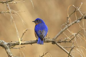 Eastern BlueBird from Exploring the Birds of Ontario with David T. Chapman