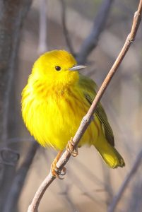 photo of yellow warbler bird.
